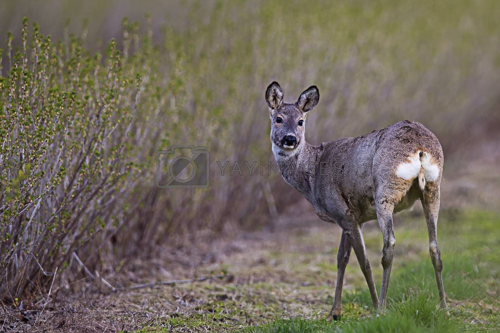 Roe-deer in the wild by johan10
