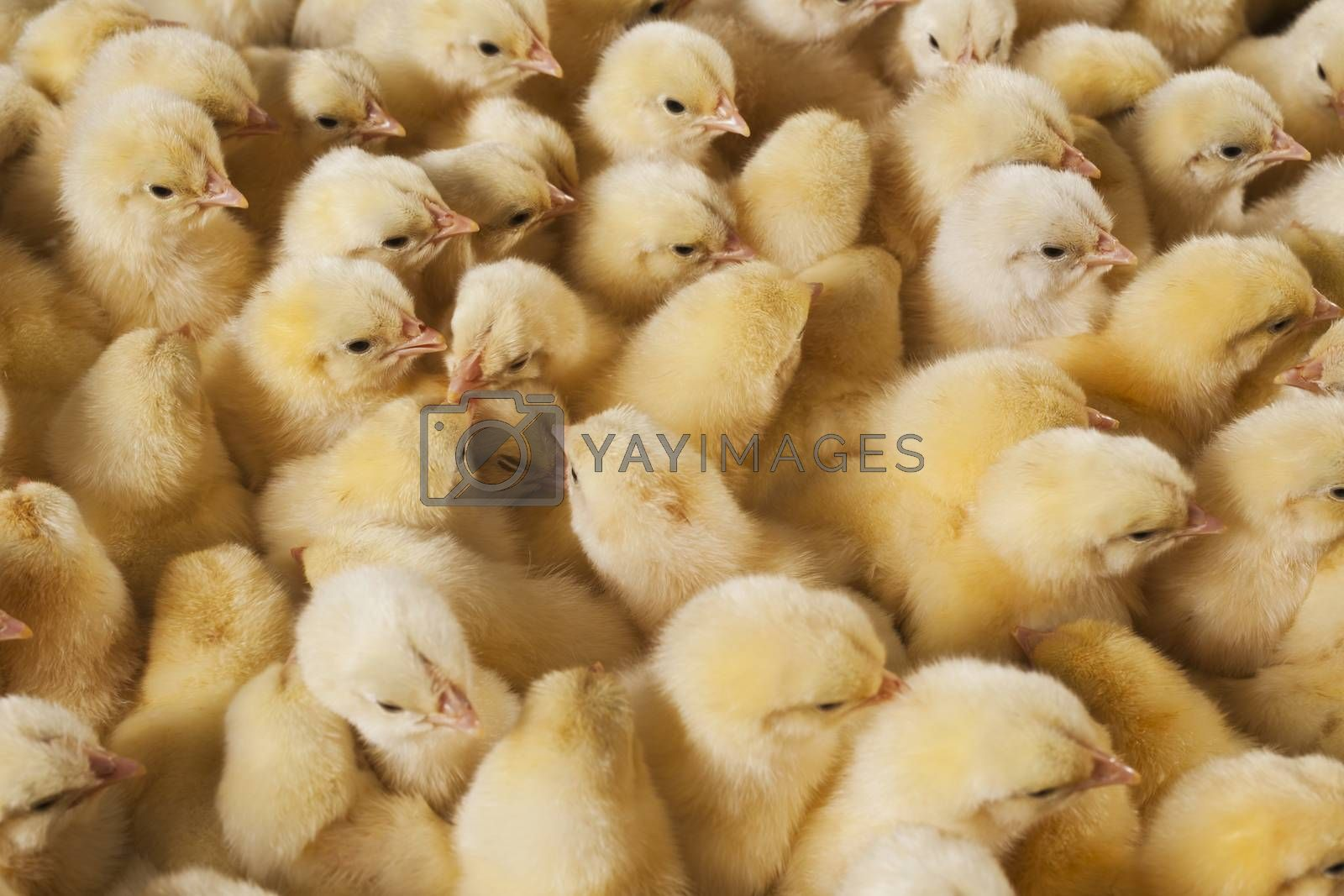 Royalty free image of Large group of baby chicks on chicken farm by emirkoo