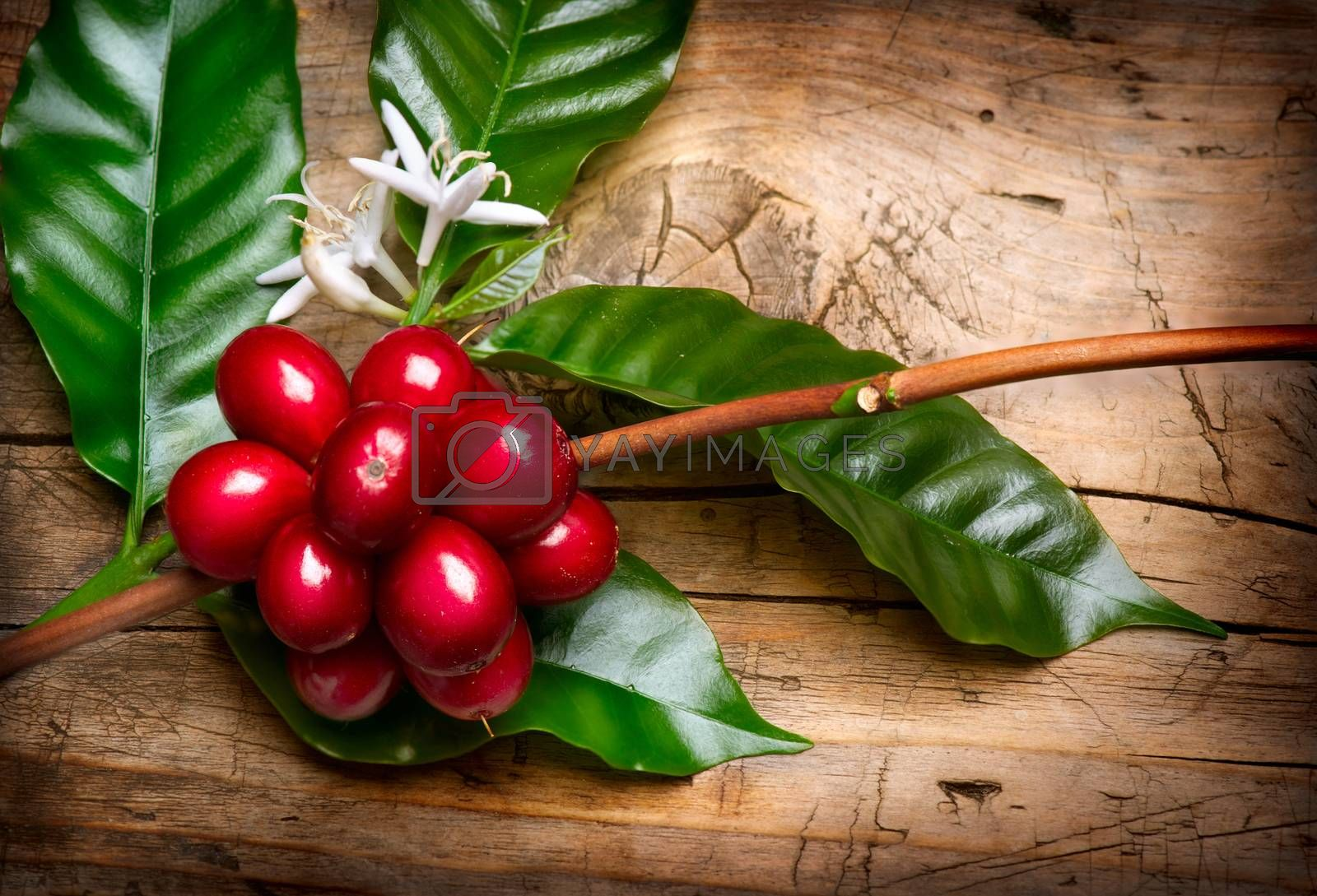 Coffee Plant. Red coffee beans on a branch of coffee tree by Subbotina Anna