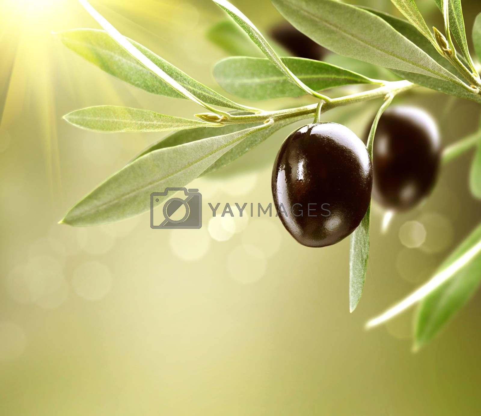 Growing Olives. Black Ripe Olive on a Tree by Subbotina Anna