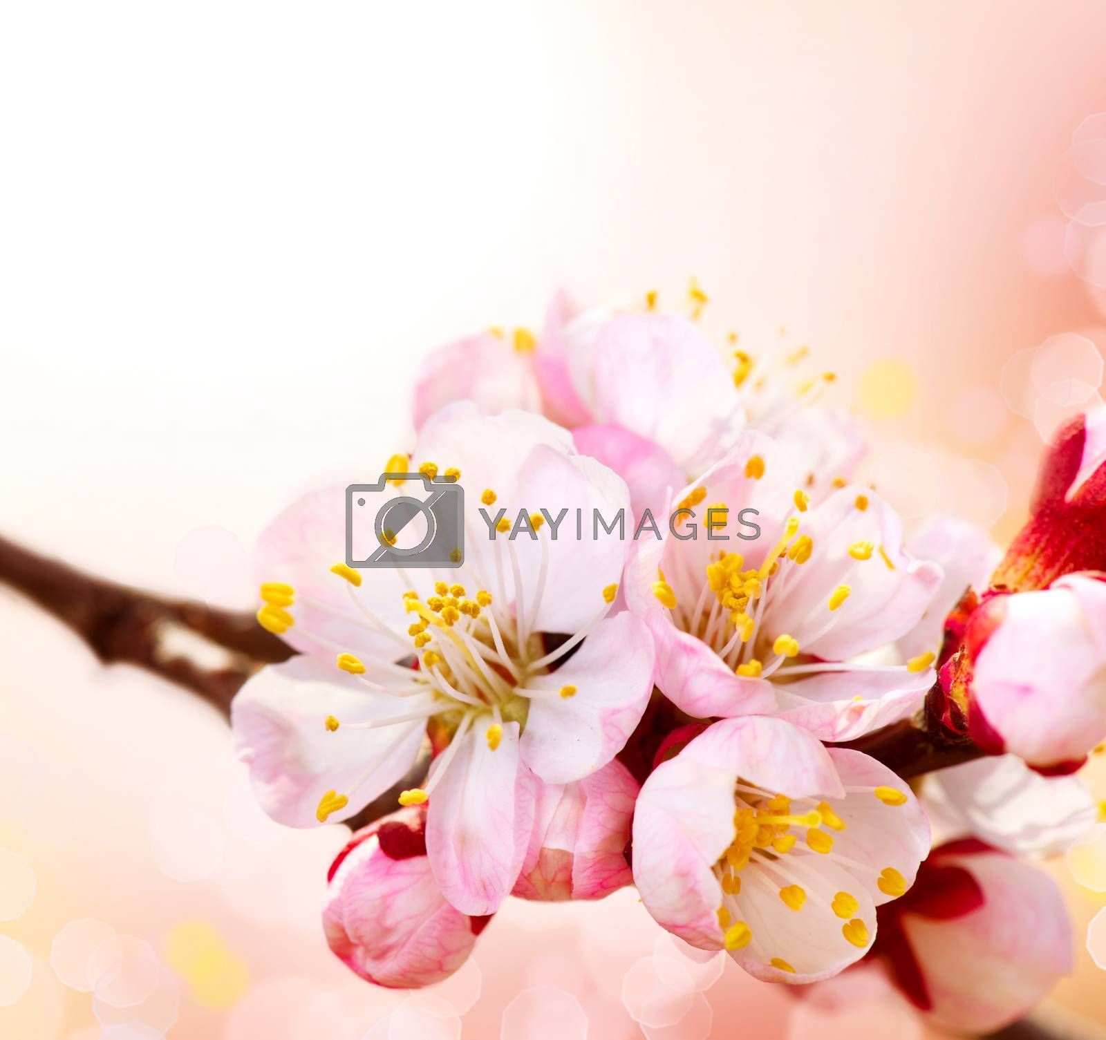 Spring Blossom. Apricot Flowers Border Art Design by Subbotina Anna