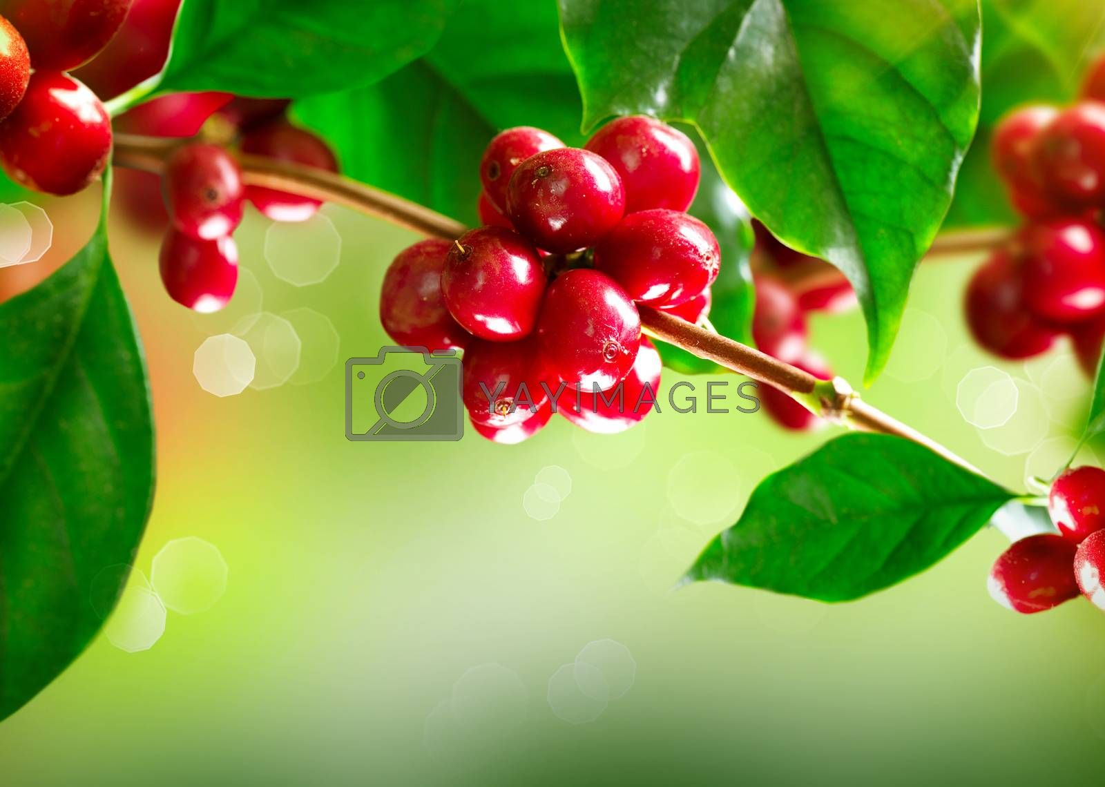 Coffee Plant. Branch of a Coffee Tree with Ripe Beans by Subbotina Anna