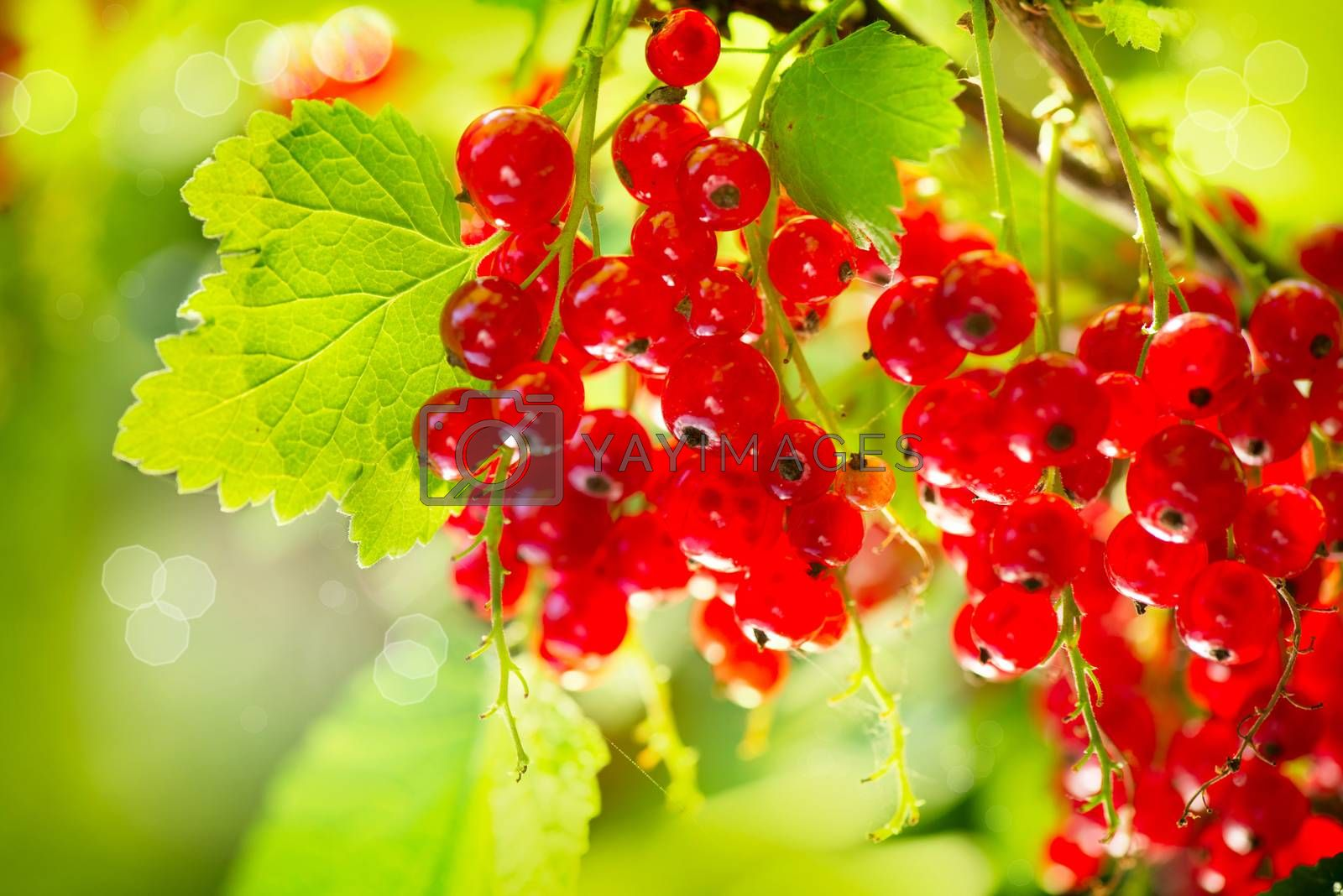 Red Currant. Ripe and Fresh Organic Redcurrant Berries by Subbotina Anna