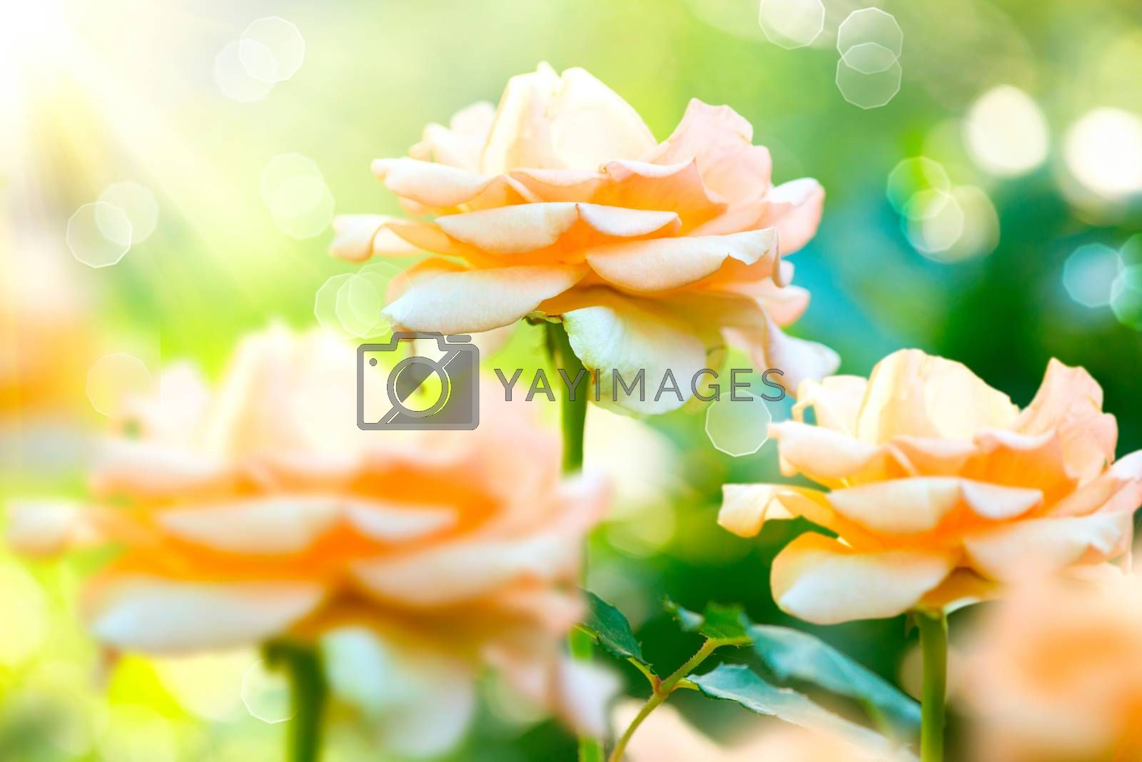 Rose Flower. Growing and Blooming Roses in the Garden