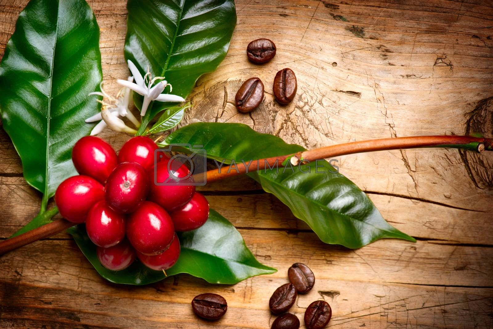 Coffee Plant. Red coffee beans on a branch of coffee tree by SubbotinaA