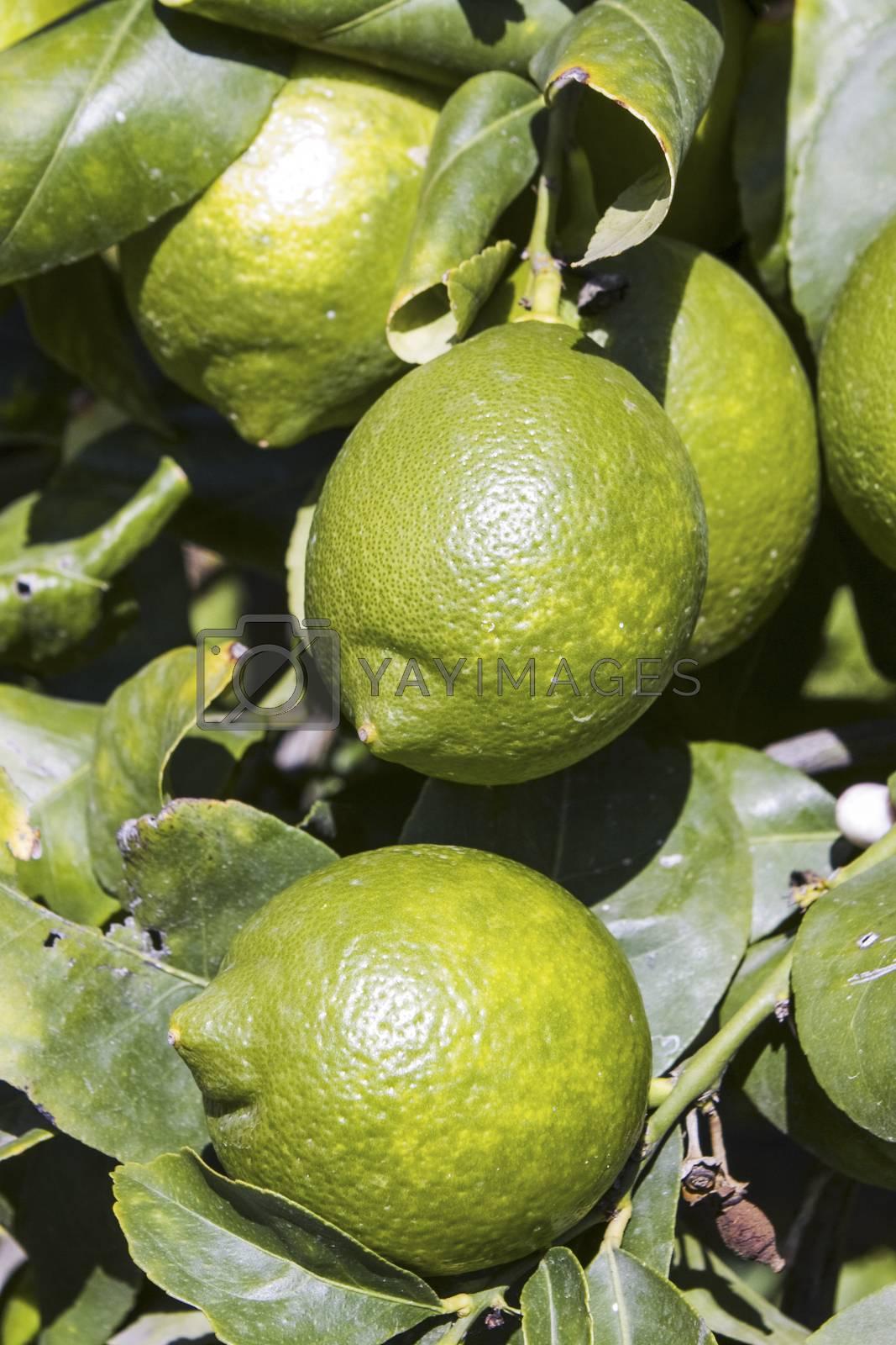 Lemons by missdragonfly