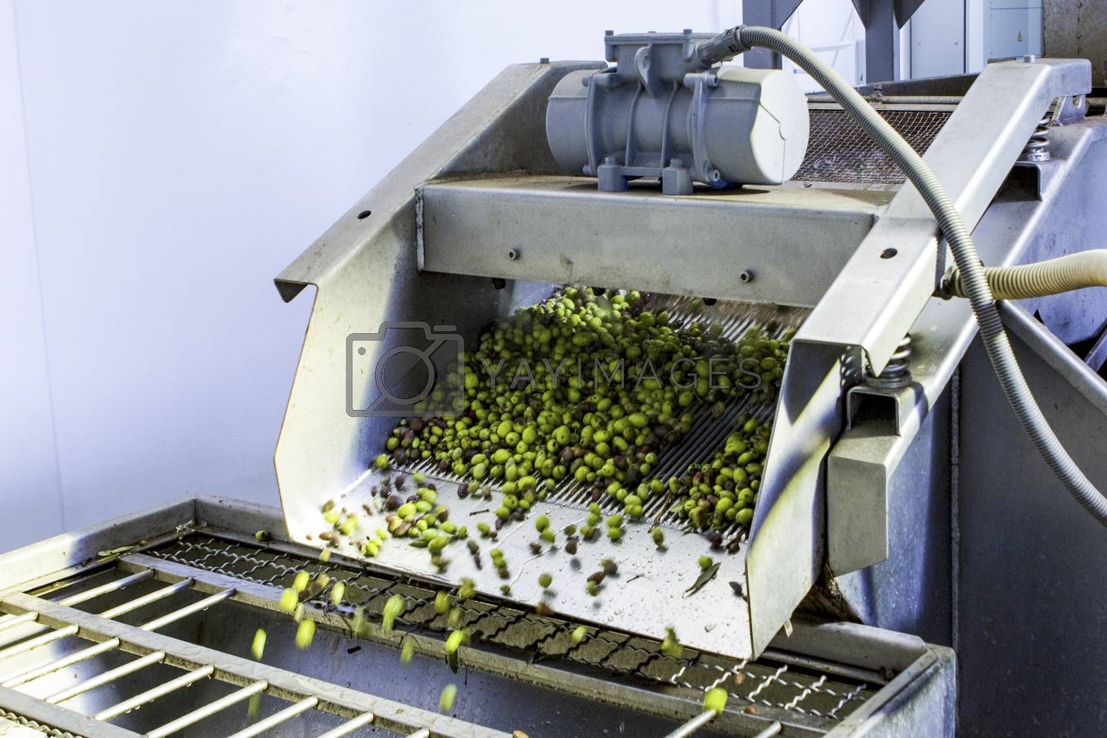 Royalty free image of Olive Harvest by missdragonfly