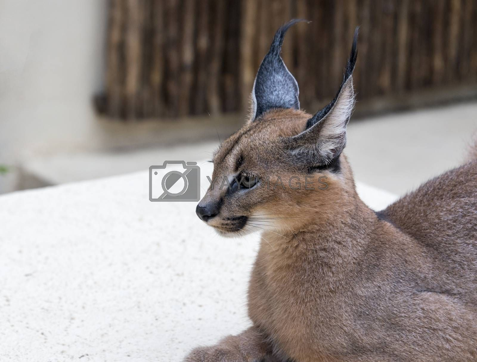 lynx wild cat in south africa africa by compuinfoto