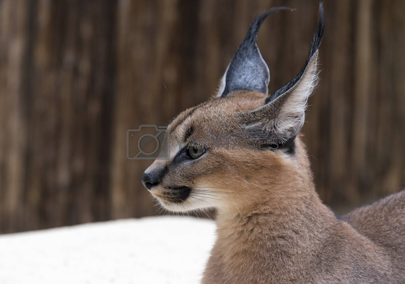 Royalty free image of lynx wild cat in africa by compuinfoto
