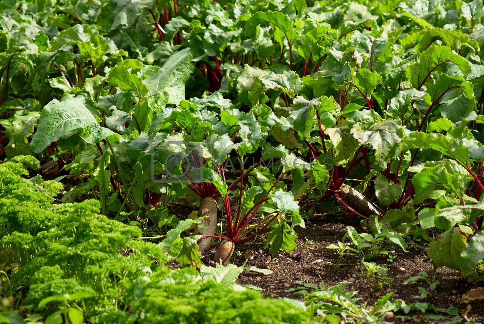 Royalty free image of Field of beetroot red beets by Ronyzmbow