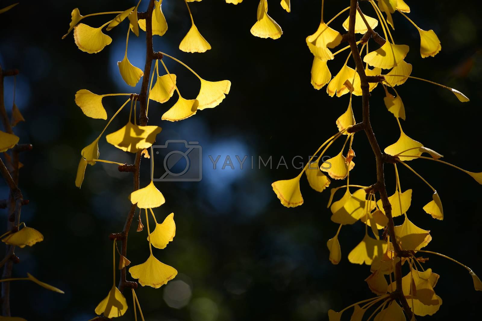 Royalty free image of ginkgo leaf by porbital