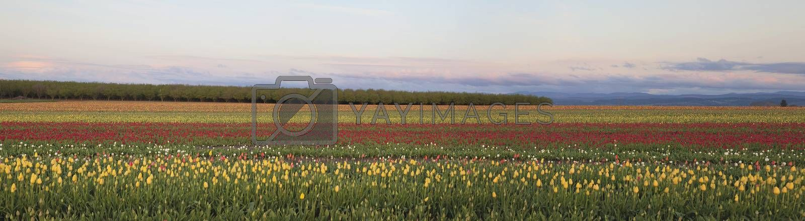 Royalty free image of Field of Tulips Panorama by jpldesigns