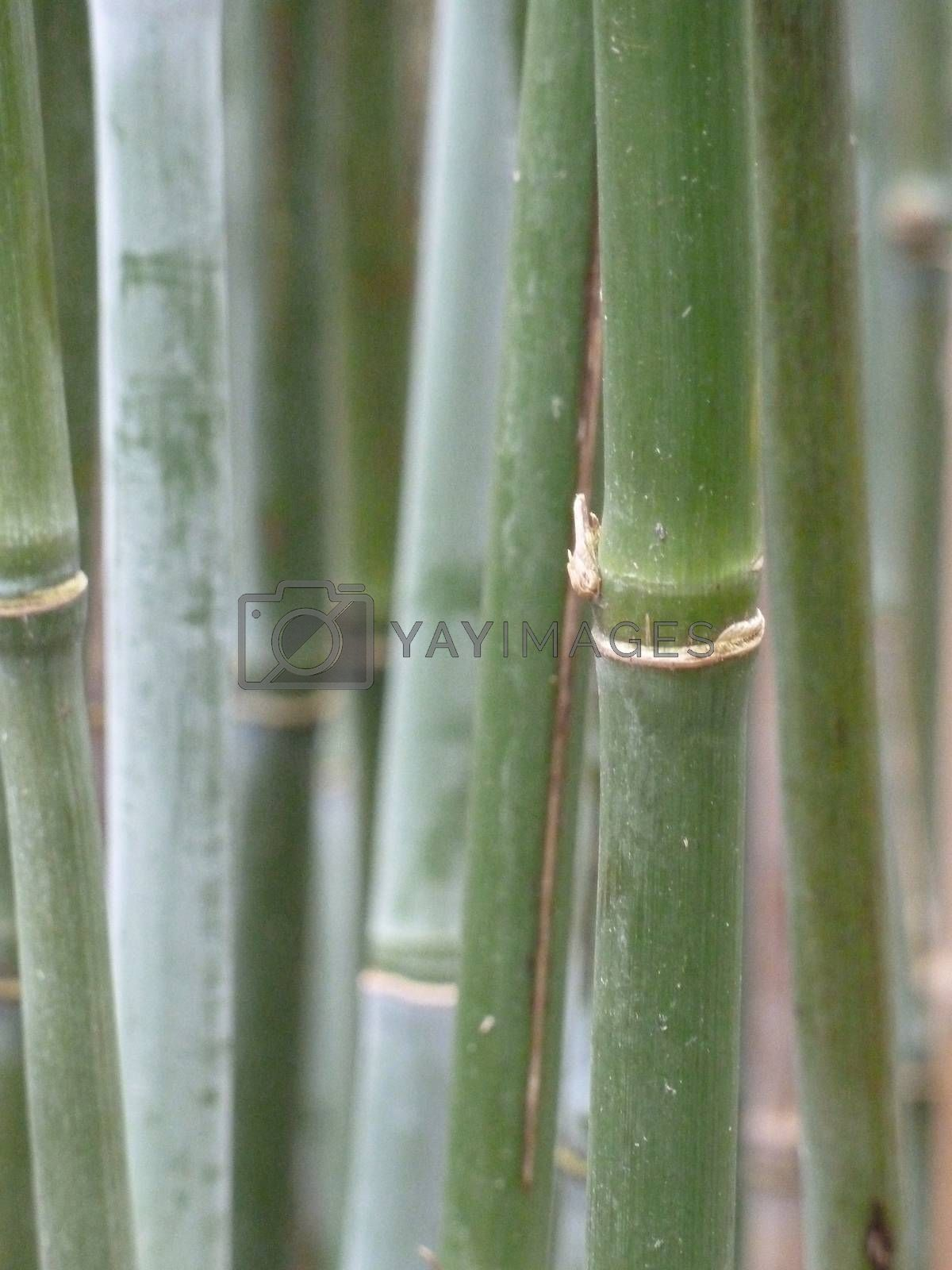 Royalty free image of Green bamboo by gazmoi