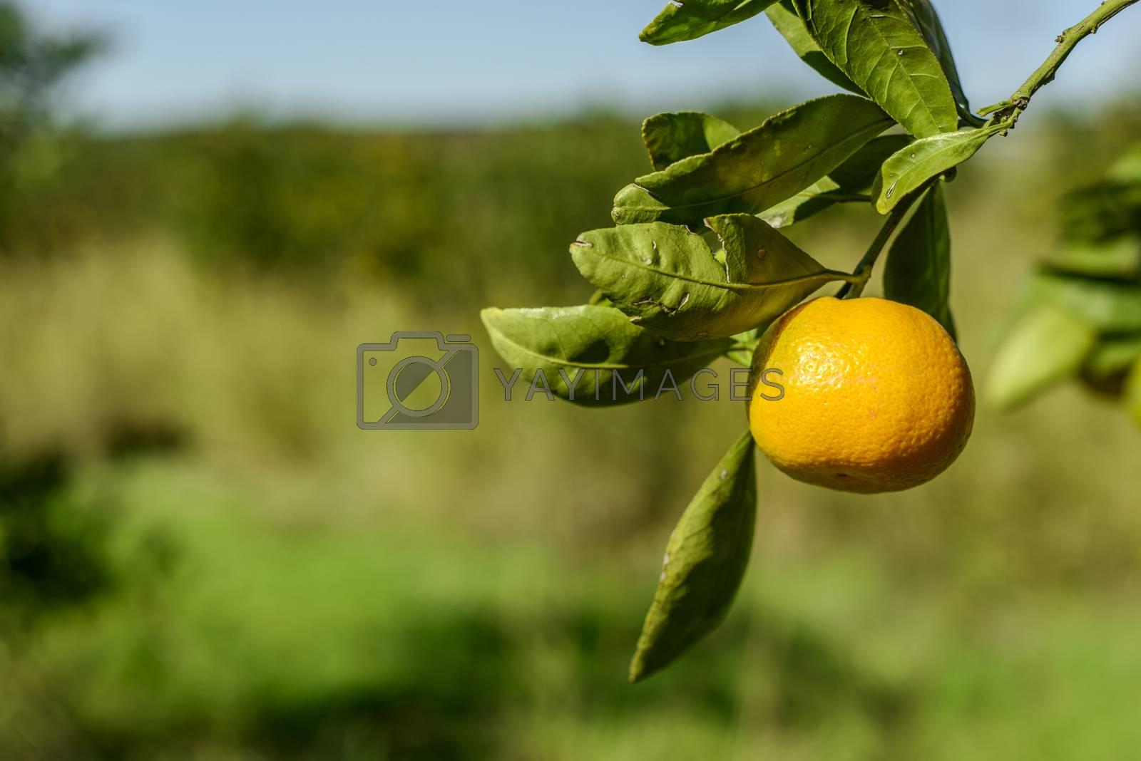 Mandarin Oranges by emirkoo