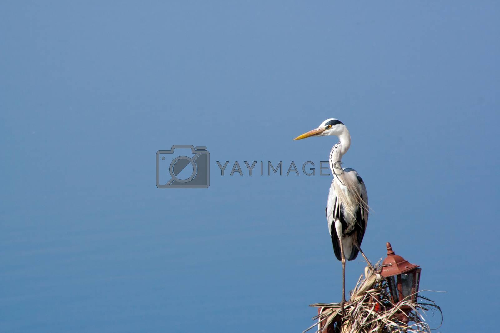 Royalty free image of Heron by elaplan
