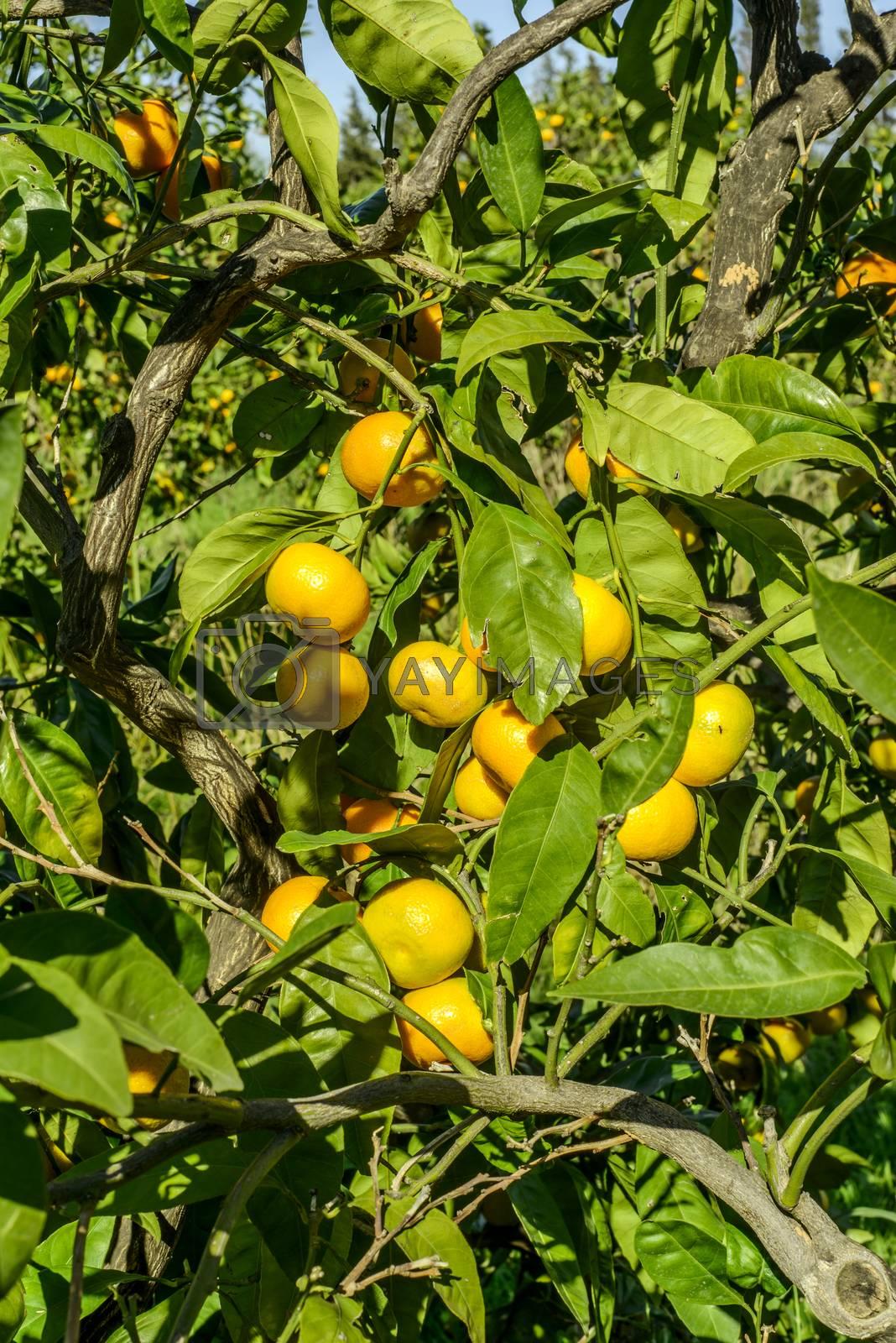 Royalty free image of Mandarin Oranges by emirkoo