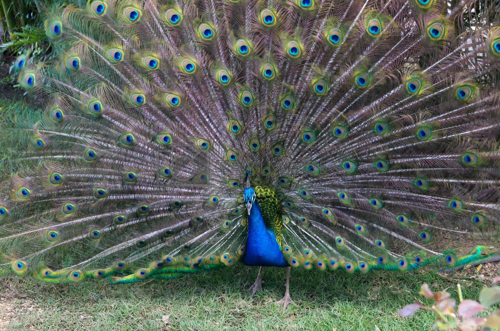 Peacock on a green grass