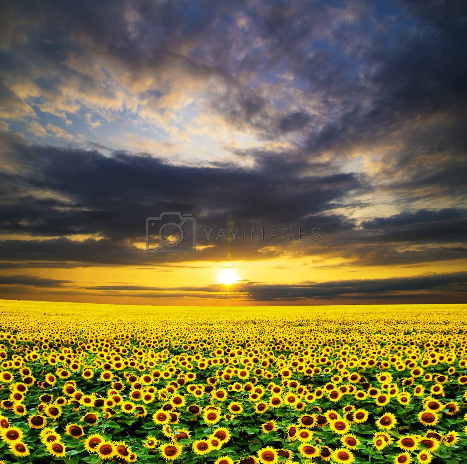 Blooming field of sunflowers on sky
