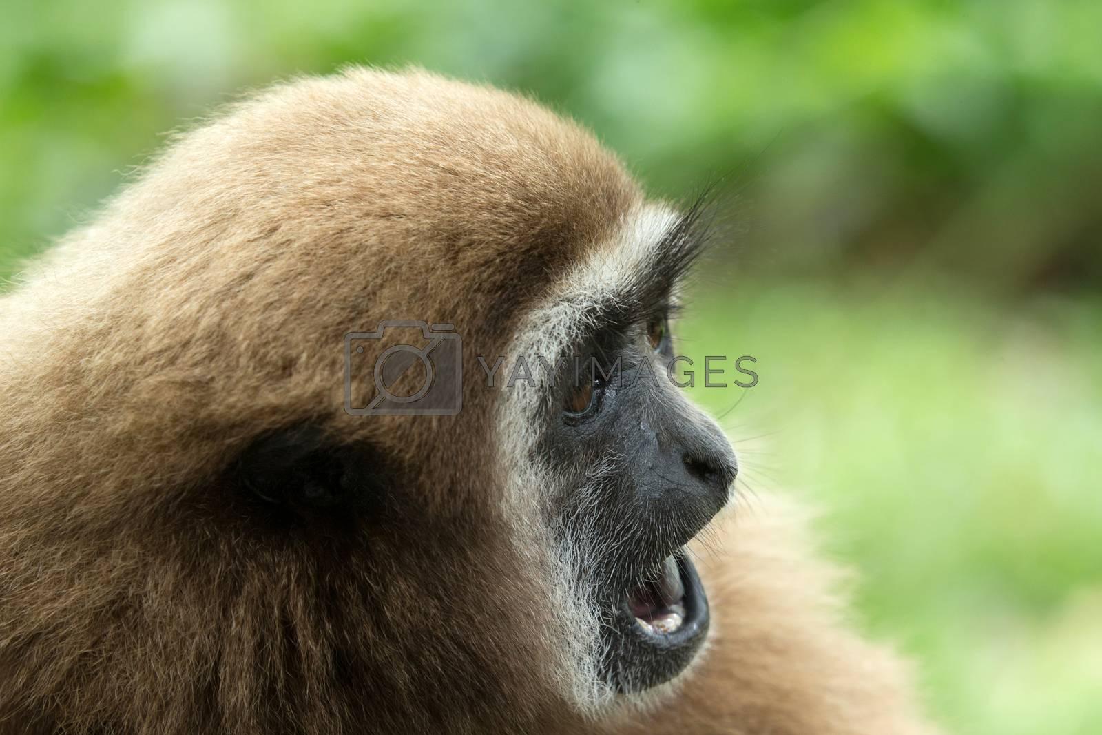 gibbon  by Pakhnyushchyy