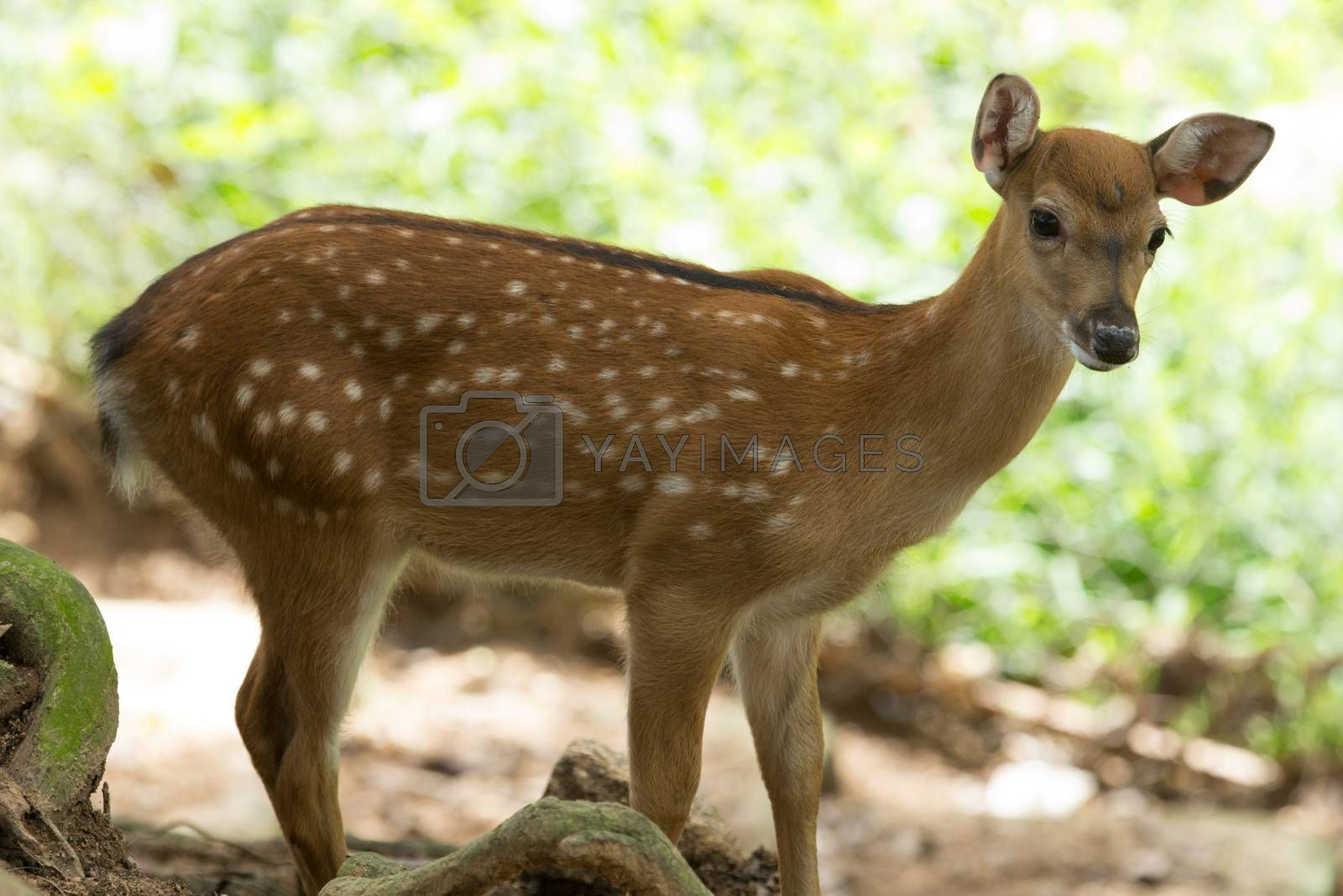 deer  by Pakhnyushchyy