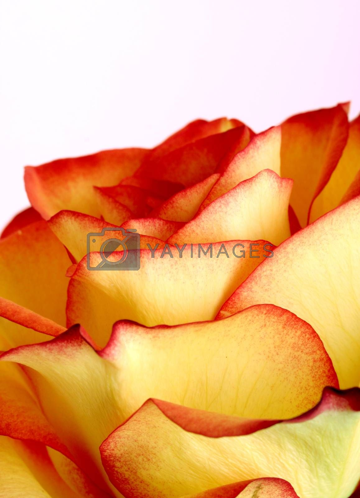 Macro picture of fresh rose.