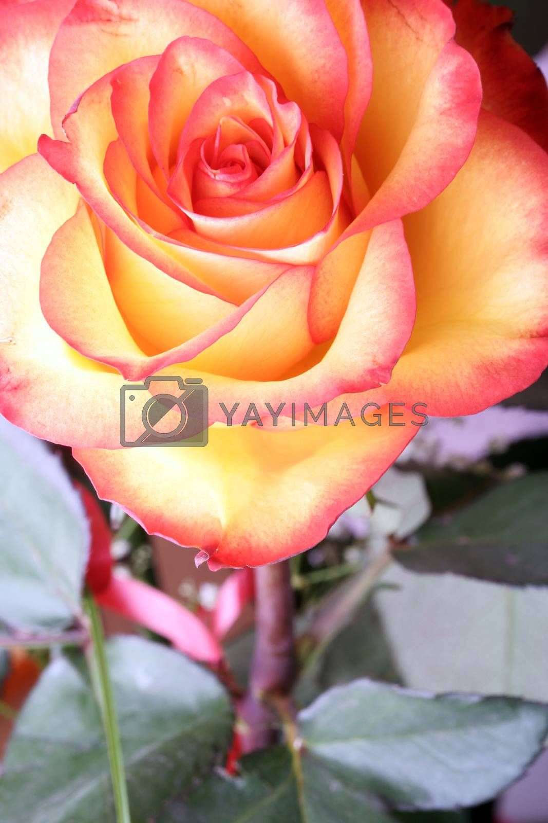 Close-up of beautiful fresh rose.