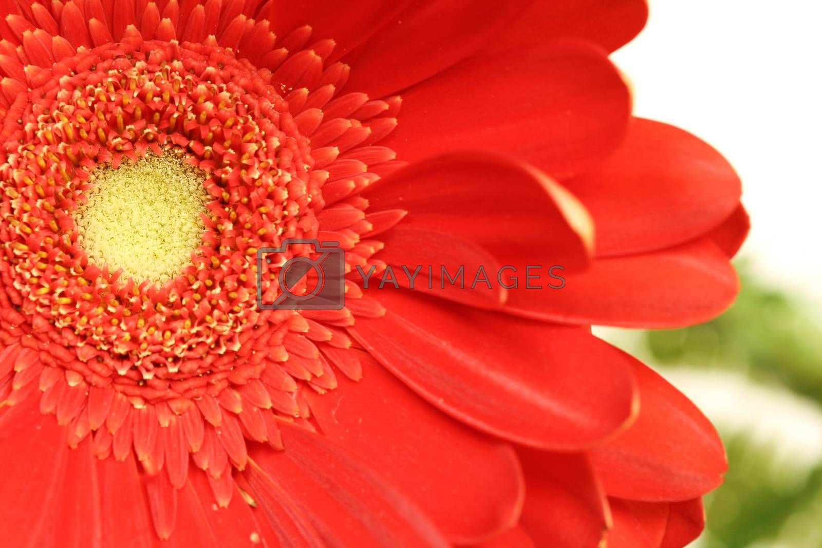 Macro picture of gerber daisy.