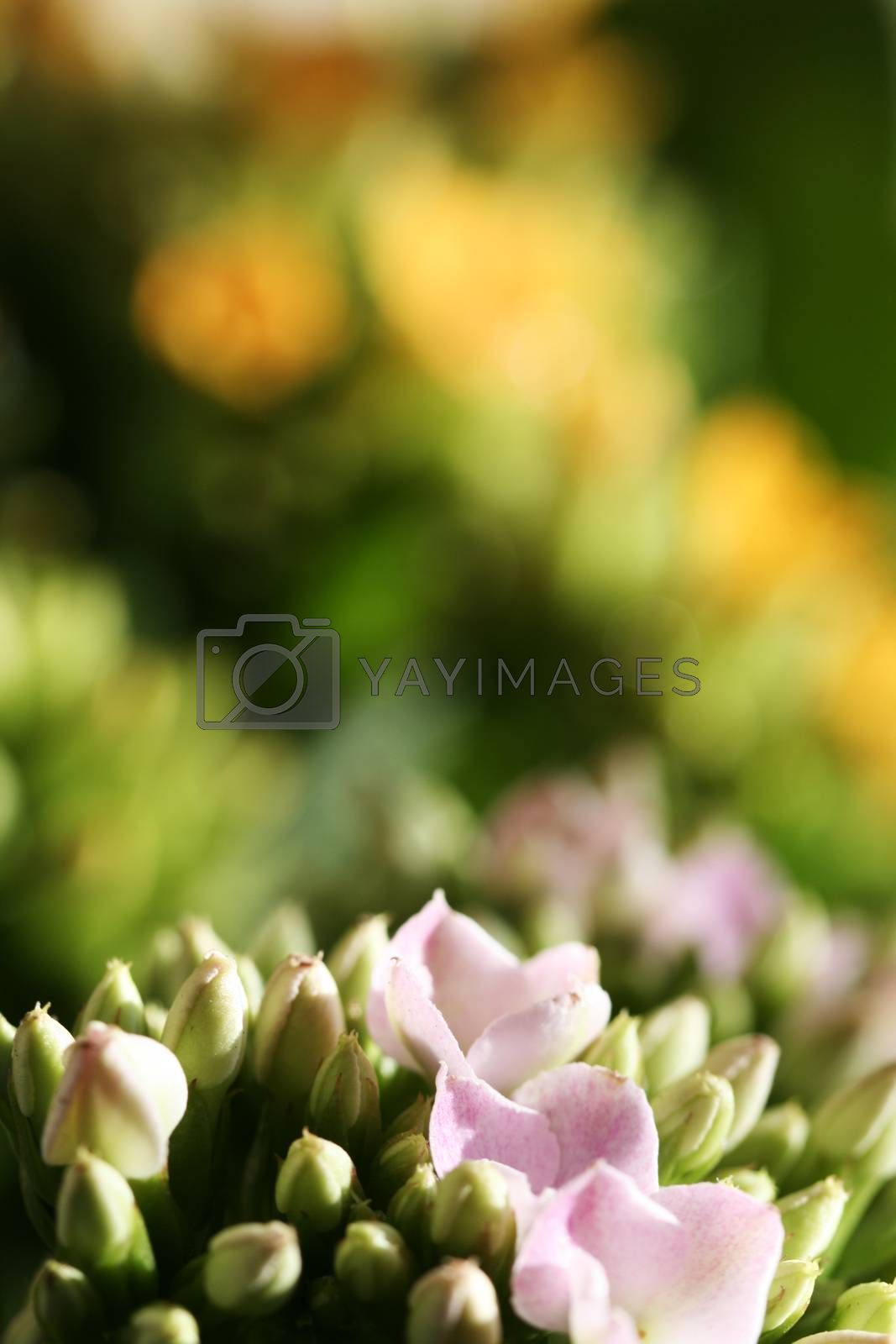Royalty free image of Beautiful wild flower. by arosoft