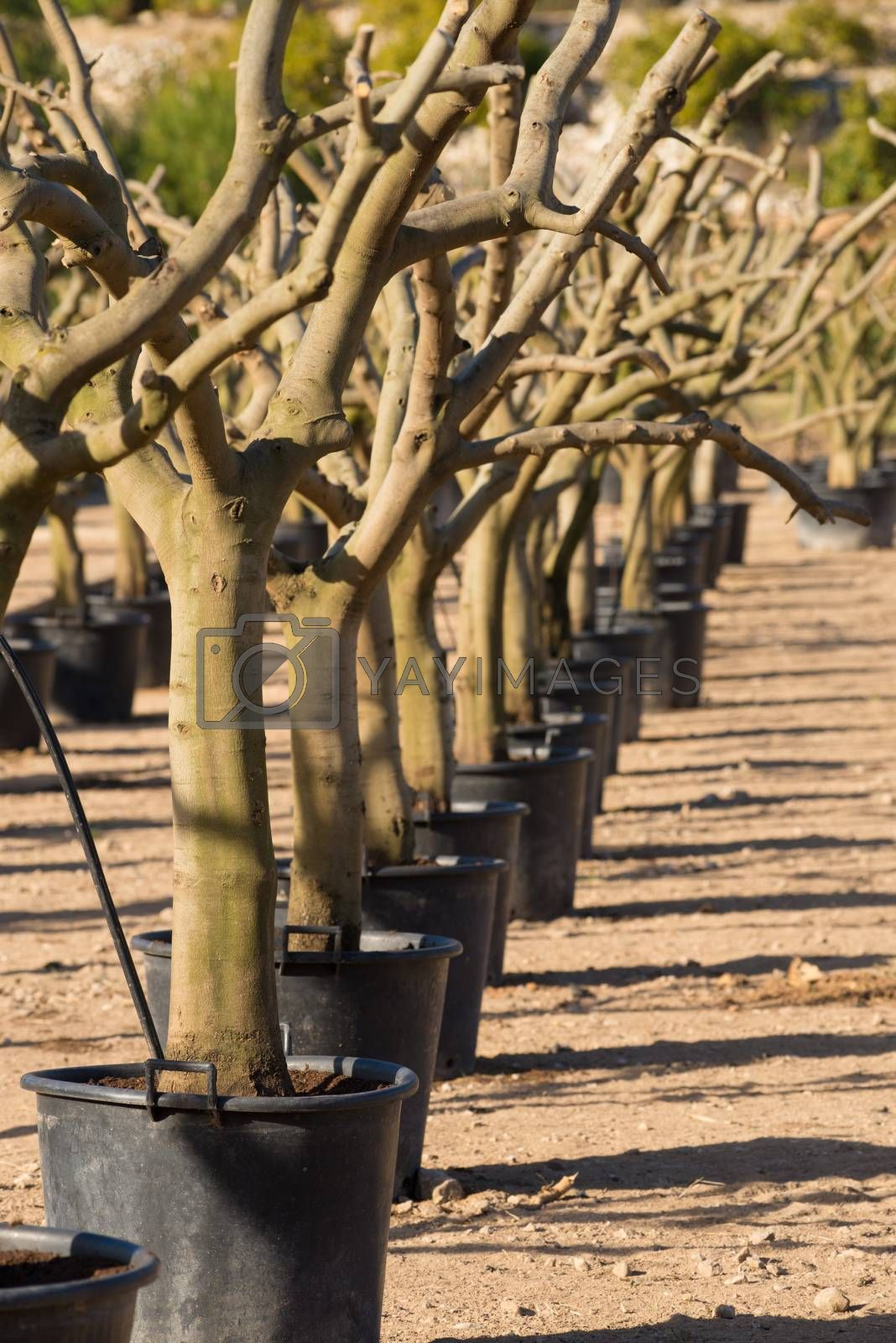A row of bare tree trunks at an industrial tree nursery