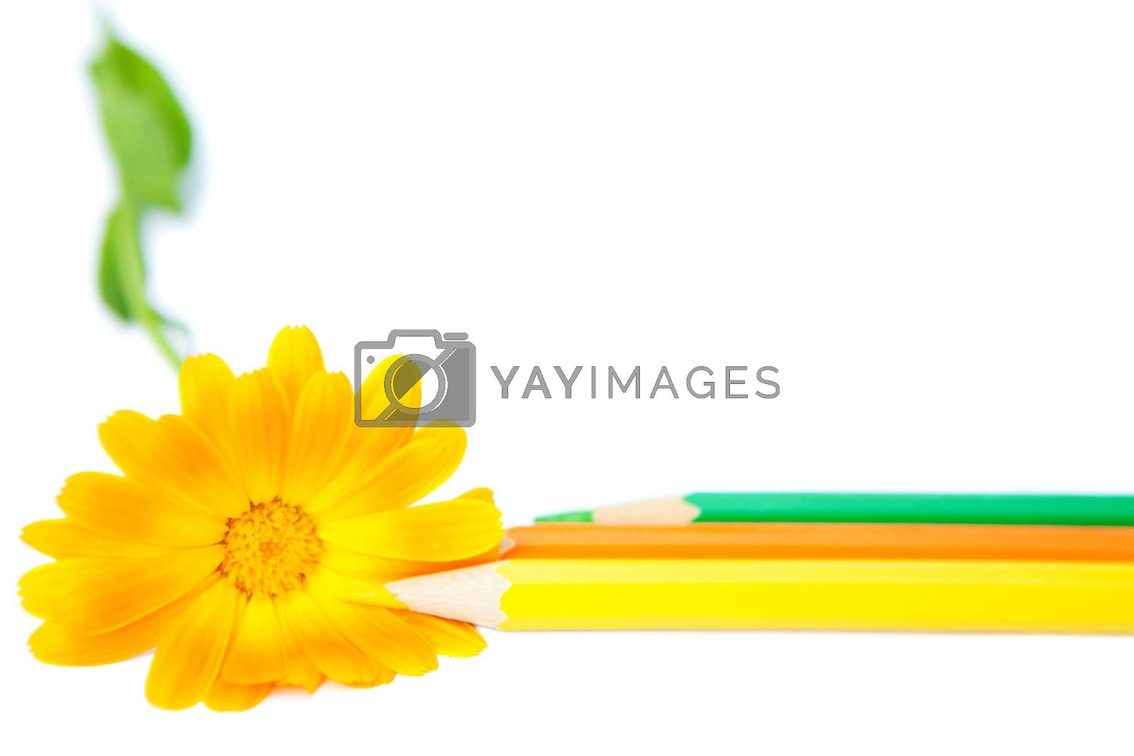 flower with bright pencils