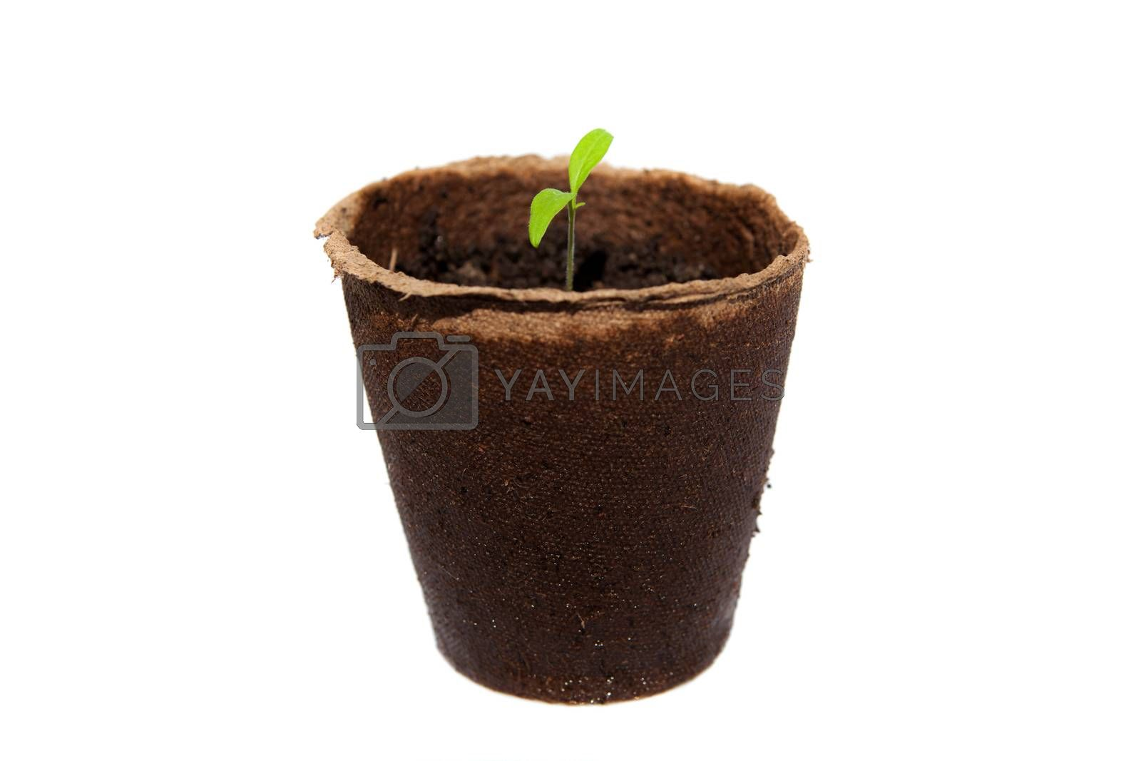 new sprout of tomato in turf pot