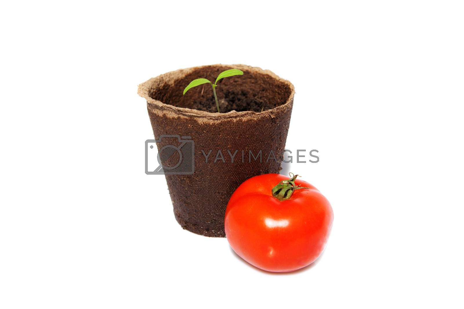 new sprout of tomato and the same vegetable