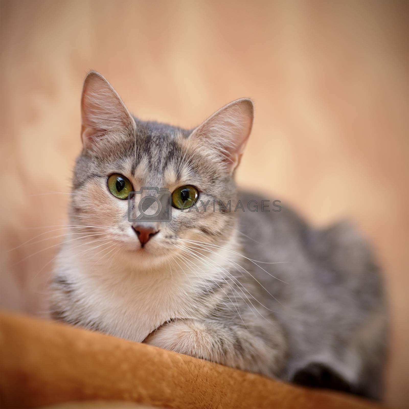 Royalty free image of Gray cat with green eyes. by Azaliya