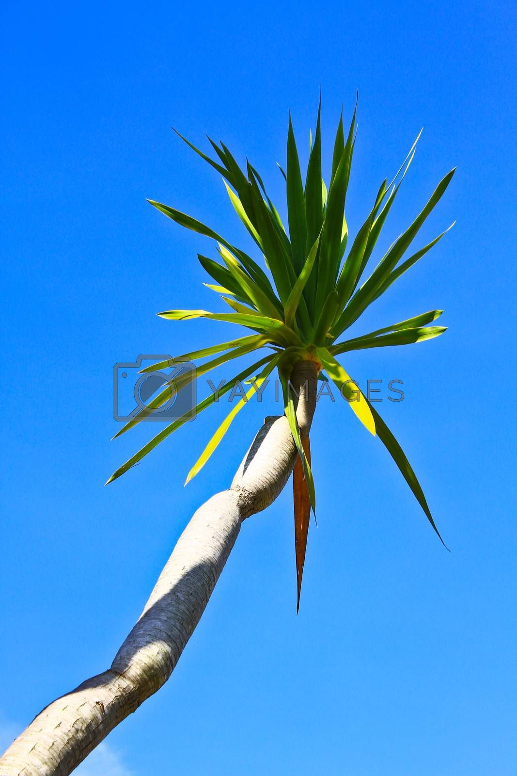 Royalty free image of Dracaena tree by forest71
