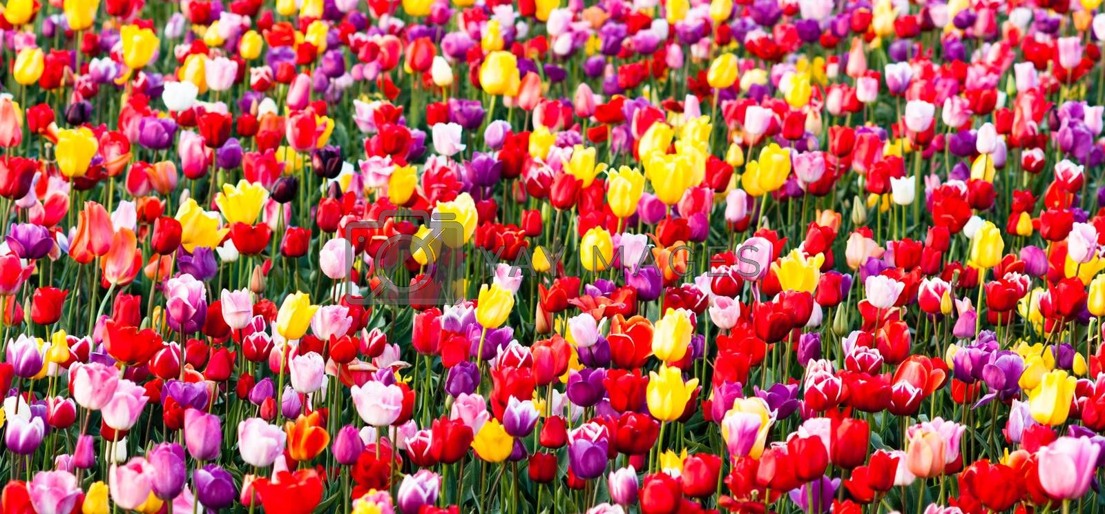 Royalty free image of Tulips Field Red Yellow Purple Bulbs Flowers Tulip Farm by ChrisBoswell