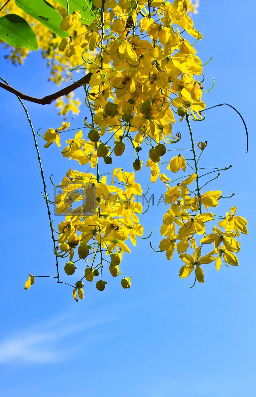 Royalty free image of Cassia Fistula in clear blue sky by forest71