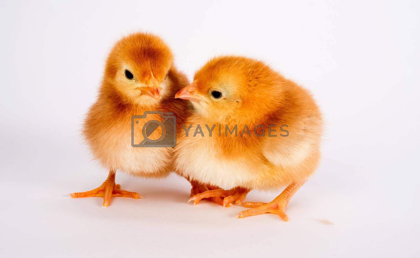 Royalty free image of Baby Chick Newborn Farm Chickens Standing White Rhode Island Red by ChrisBoswell