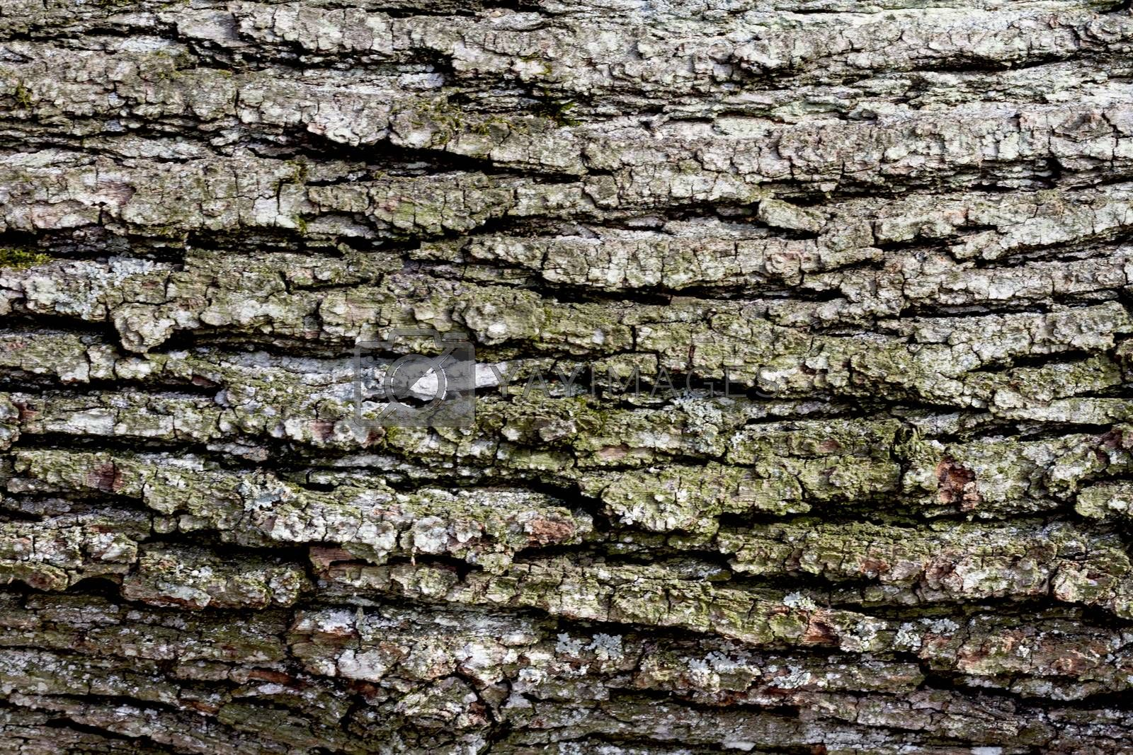 lose up of bark of old deciduous tree