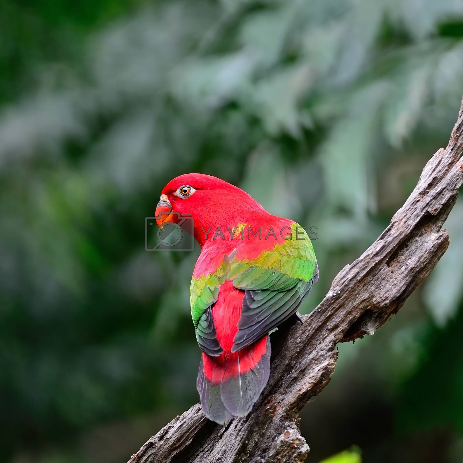 Royalty free image of Chattering Lory by panuruangjan