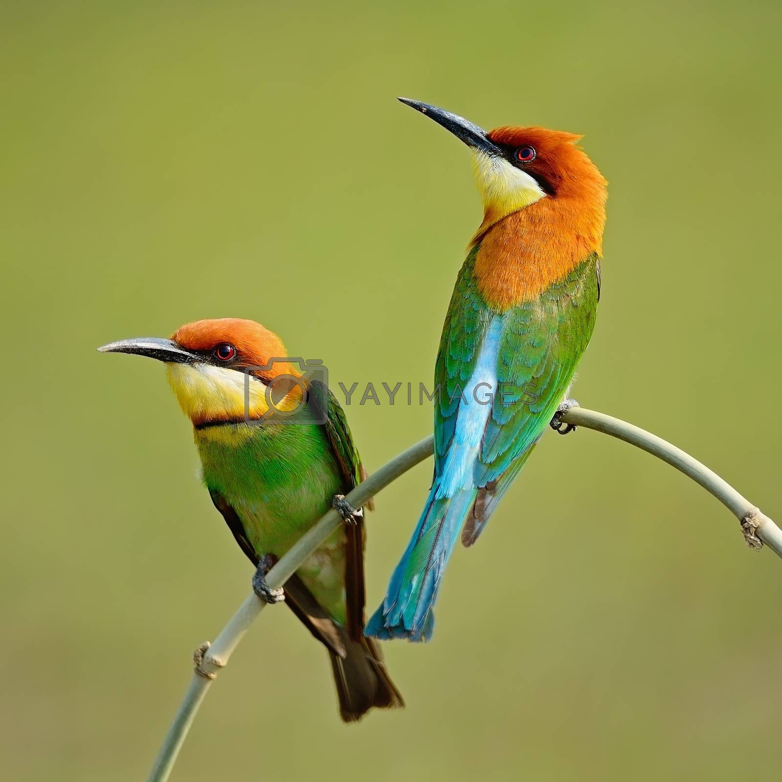 Royalty free image of Chestnut-headed Bee-eater by panuruangjan