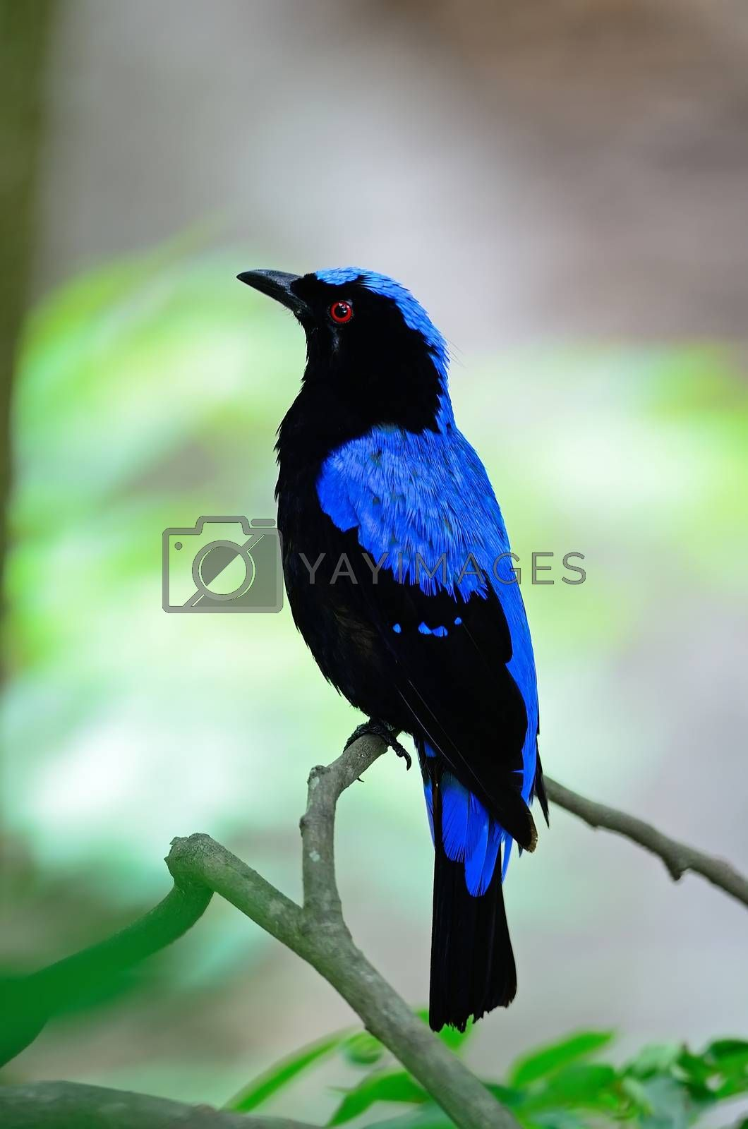 male Asian Fairy Bluebird by panuruangjan