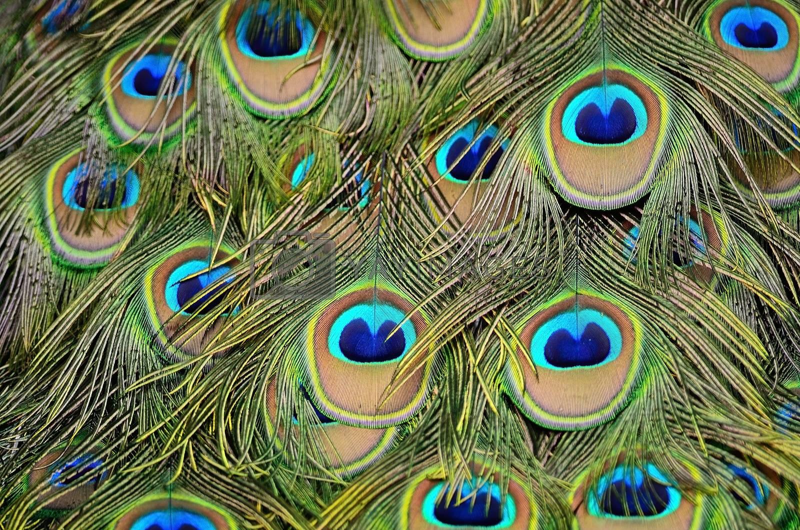 male Green Peacock feathers by panuruangjan