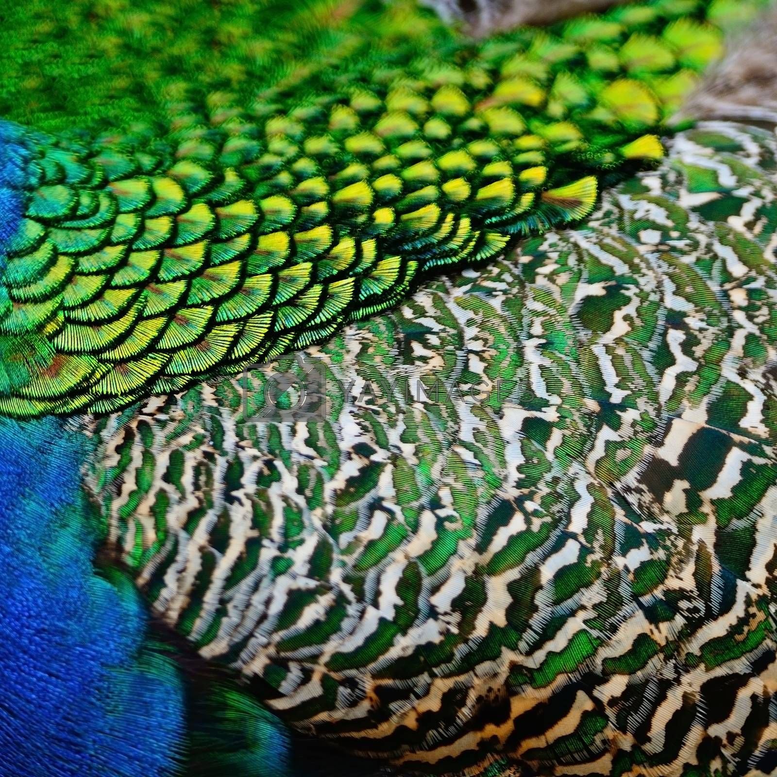 Royalty free image of male Green Peacock feathers by panuruangjan