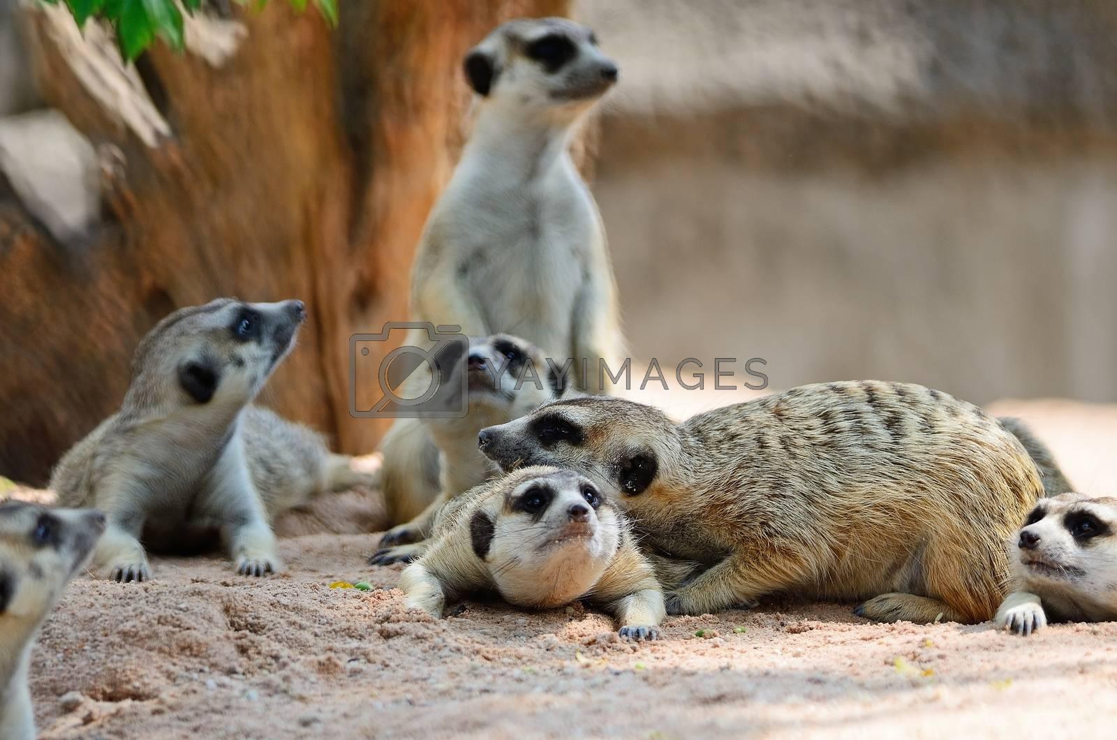 Meerkat by panuruangjan