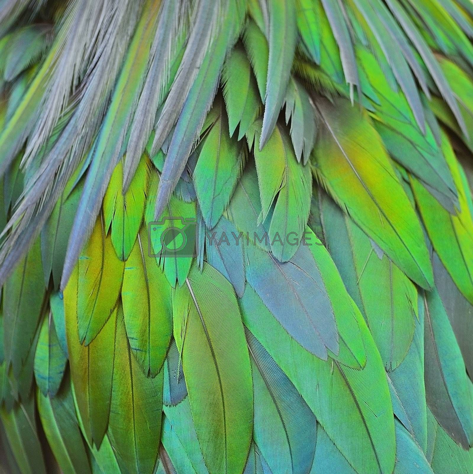 Royalty free image of Nicobar Pigeon feathers  by panuruangjan