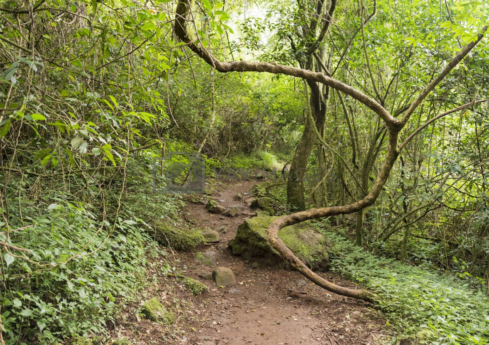 Royalty free image of winding vine branch in tropical forest by compuinfoto