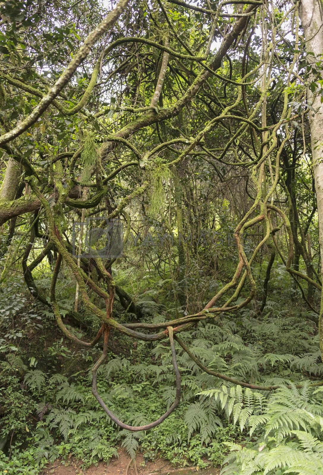winding vine branch in tropical forest    by compuinfoto
