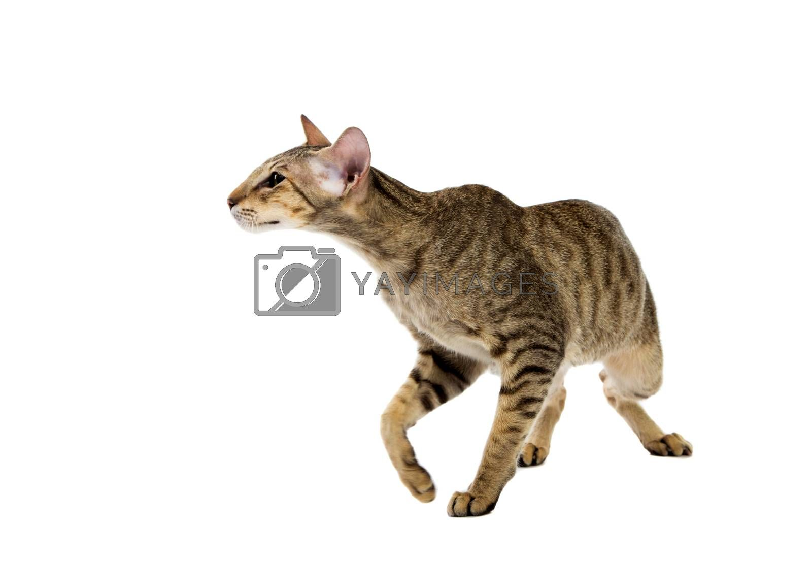 Royalty free image of aggressive siamese cat. isolated on white by gsdonlin