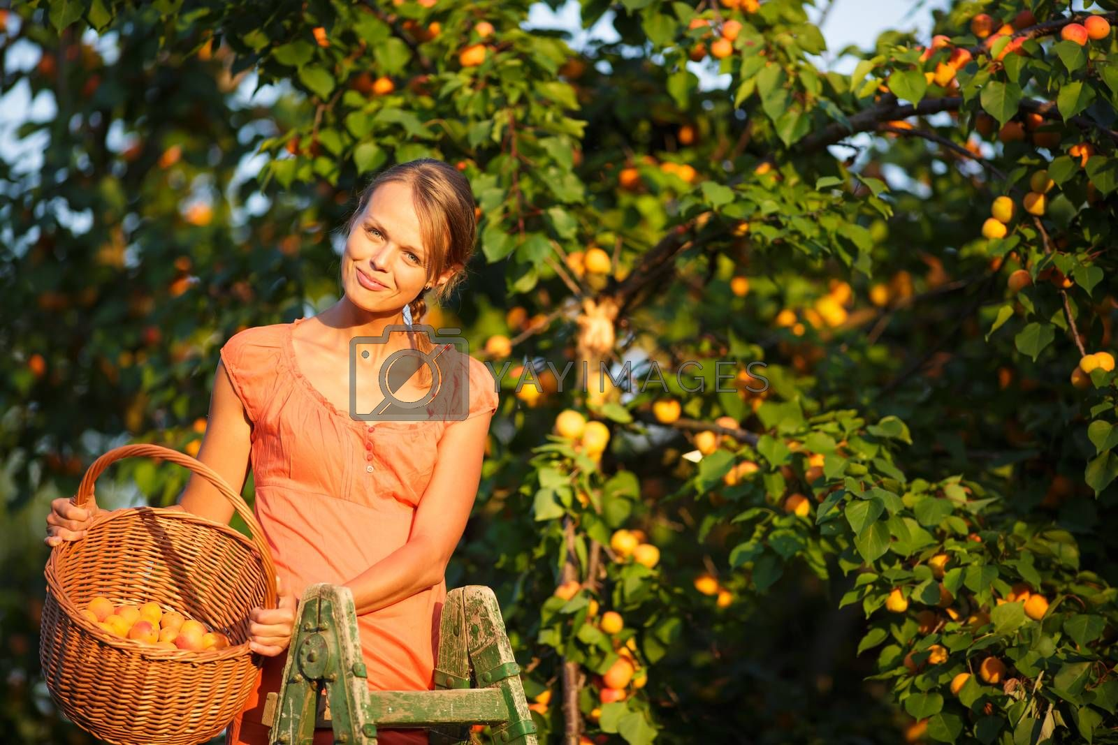 Royalty free image of Pretty, young woman picking apricots lit by warm summer evening  by viktor_cap