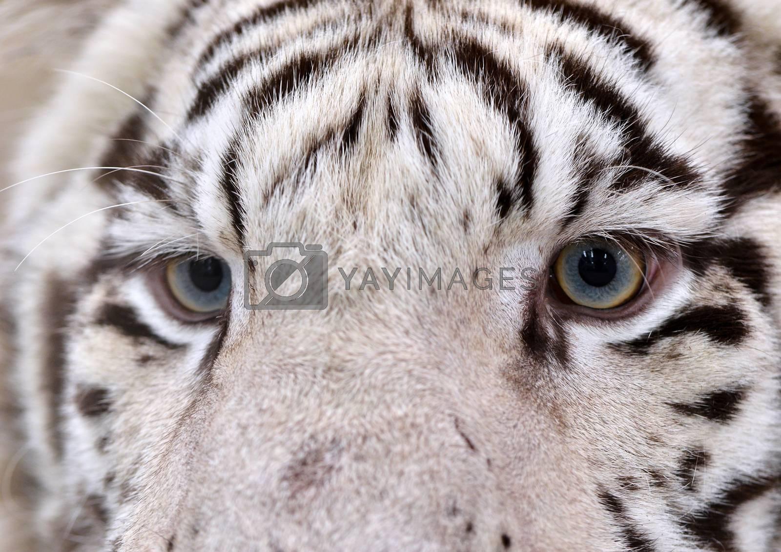 Royalty free image of white bengal tiger eyes by anankkml